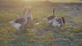 Oche che camminano all'aperto nel tramonto stock footage