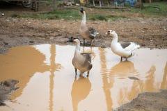Oche che giocano in una pozza Le oche nuotano in una pozza su una strada rurale immagini stock libere da diritti