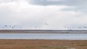 Oche che partono in volo da un grande campo Stormo volante delle anatre miste video Le anatre selvatiche stanno volando su nel bl video d archivio