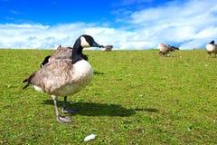 Oche che si alimentano sulle colline erbose Fotografia Stock