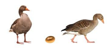 Oche con un uovo dorato Fotografia Stock