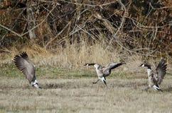 Oche del Canada che atterrano in Autumn Field Fotografia Stock