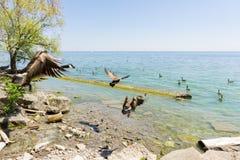 Oche del Canada che decollano sopra il lago immagini stock