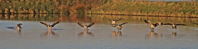 Oche del Canada che entrano atterrare su acqua Fotografia Stock