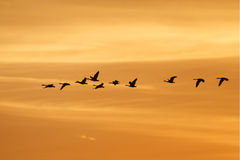 Oche del Canada che migrano al tramonto Immagini Stock