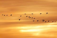 Oche del Canada che migrano al tramonto Fotografia Stock Libera da Diritti