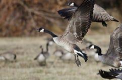 Oche del Canada che prendono al volo da Autumn Field Fotografia Stock Libera da Diritti