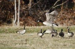 Oche del Canada che prendono al volo da Autumn Field Fotografie Stock