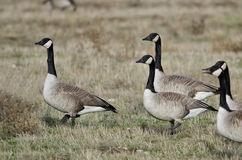 Oche del Canada che si alimentano e che riposano in Autumn Field Fotografia Stock