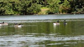 Oche di canadensis del branta del Canada che si rilassano su un lago stock footage