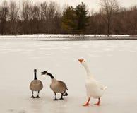 Oche di neve e del Canada Immagini Stock Libere da Diritti