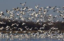 Oche di neve migration1 Fotografia Stock Libera da Diritti