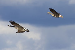 Oche di volo Fotografia Stock Libera da Diritti