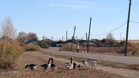 Oche e cigni sullo stagno del villaggio archivi video