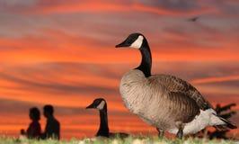Oche e coppie al tramonto Immagini Stock Libere da Diritti