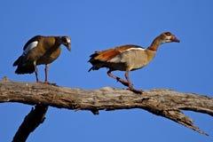 Oche egiziane in albero, Chobe NP, Botswana Fotografia Stock