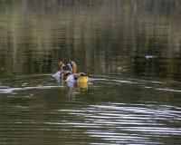 Oche egiziane - uccelli di grande parco frontaliero di Lumpopo fotografia stock libera da diritti