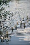 Oche grige bianche nel villaggio Fotografie Stock Libere da Diritti