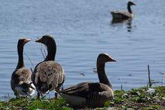 Oche insieme nel fron un piccolo lago nel parc olandese fotografie stock