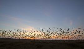 Oche polari al tramonto Immagini Stock Libere da Diritti