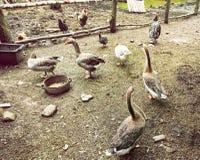 Oche, polli e tacchini nell'azienda agricola, tema animale Immagini Stock