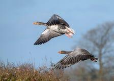 Oche selvatiche - anser del Anser in volo fotografia stock libera da diritti