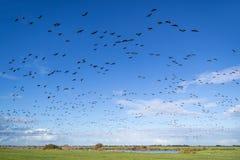 Oche selvatiche di migrazione fotografie stock libere da diritti