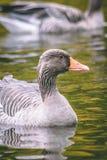 Oche selvatiche in lago Immagine Stock Libera da Diritti