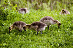 Oche selvatiche nel fiume di Des Plaines e di Forest Preserves di Illinois U.S.A. Immagini Stock