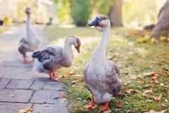 Oche selvatiche nel parco di autunno immagine stock