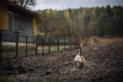 Oche selvatiche selvagge nel villaggio Oca domestica del cortile Immagini Stock Libere da Diritti