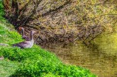 Oche selvatiche sulla riva del fiume Fotografie Stock