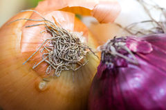 Ocher and violet - blue onions detailed texture close up Stock Photography