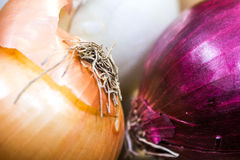 Ocher, white and violet - blue onions detailed texture close up Stock Images