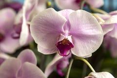 Ochid in de volledige bloei Royalty-vrije Stock Afbeelding