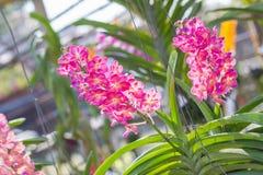 Ochidachtergrond, Ascocentrum Miniatum Royalty-vrije Stock Foto's