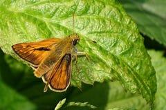 Ochlodes sylvanus. Butterflies Ochlodes sylvanus is abundant in Europe Royalty Free Stock Image