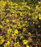 Ochna Flowers in Full Bloom Stock Photos