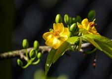 Ochna integerrima在庭院开花在越南南方 库存照片