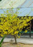 Ochna integerrima flowers at spring time stock photo