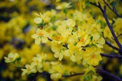 Ochna integerrima flowers at spring time. In southern Vietnam. Ochna integerrima called the Vietnamese mickey mouse plant is a tree species of the family Royalty Free Stock Photos