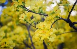 Ochna integerrima kwitnie przy wiosna czasem Zdjęcie Stock