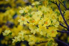 Ochna integerrima kwitnie przy wiosna czasem Zdjęcia Royalty Free