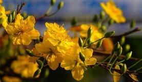 Ochna integerrima kwitnie przy wiosna czasem Obrazy Stock