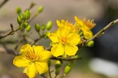 Ochna integerrima symbol Wietnamski księżycowy nowy rok w południe Złoty kolor żółty kwiat znaczy szlachetnych korzenie Viet fotografia royalty free