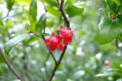 Ochna kirkii Oliv在庭院,红色花,绿色离开 免版税库存照片