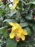 Ochna serrulata or Mickey mouse flower. Ochna serrulata or Mickey mouse or Bird`s eye bush flower stock photos