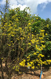 Ochnaceae tree and flowers Royalty Free Stock Photography