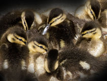 Ocho anadones recién nacidos de cerca junto Foto de archivo libre de regalías