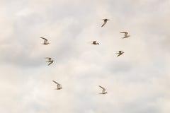 Ocho golondrinas de mar sobre Minsmere Foto de archivo